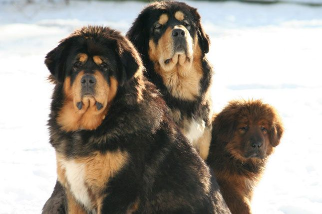 tibetan mastiff | Tibetan Mastiff Puppies For Sale - Puppy Breeders