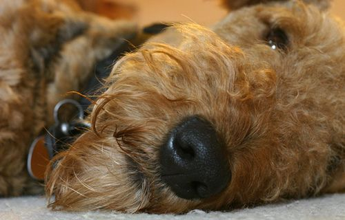 Airedale Terriers = Giant Teddy Bears