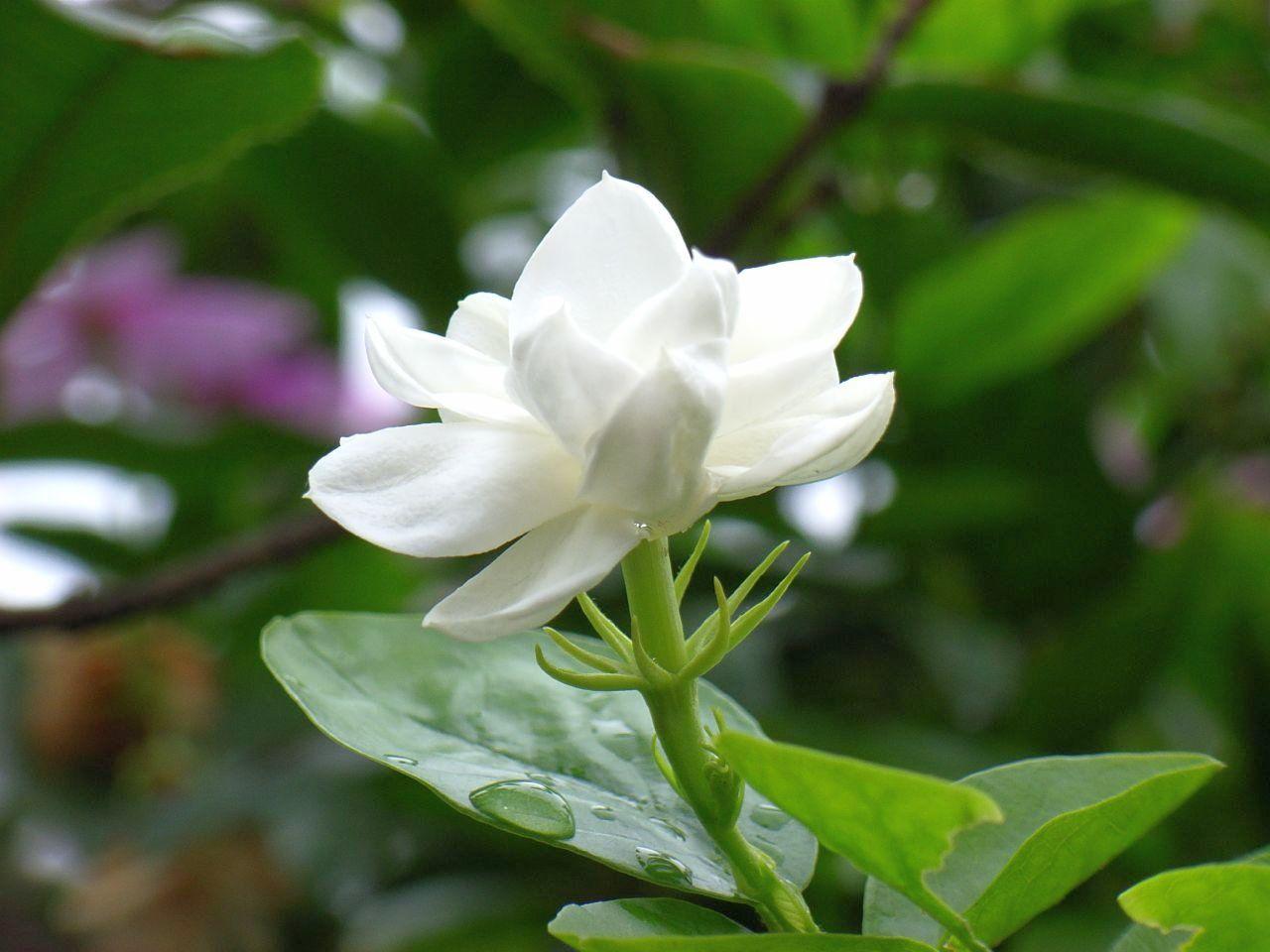 Jasmine Flower Yasmine Plumeria Frangipani