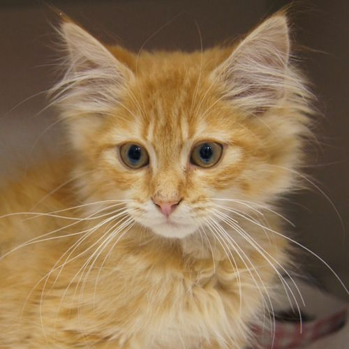 This Beautiful Long Haired Orange Tabby Kitten Is Up For Adoption At The Austin Animal Center Id A73129 Tabby Kitten Orange Orange Kittens Tabby Kitten