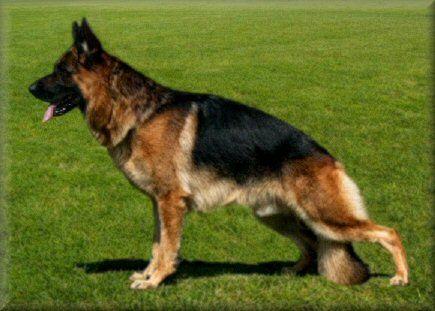 German shepherd breeders north queensland