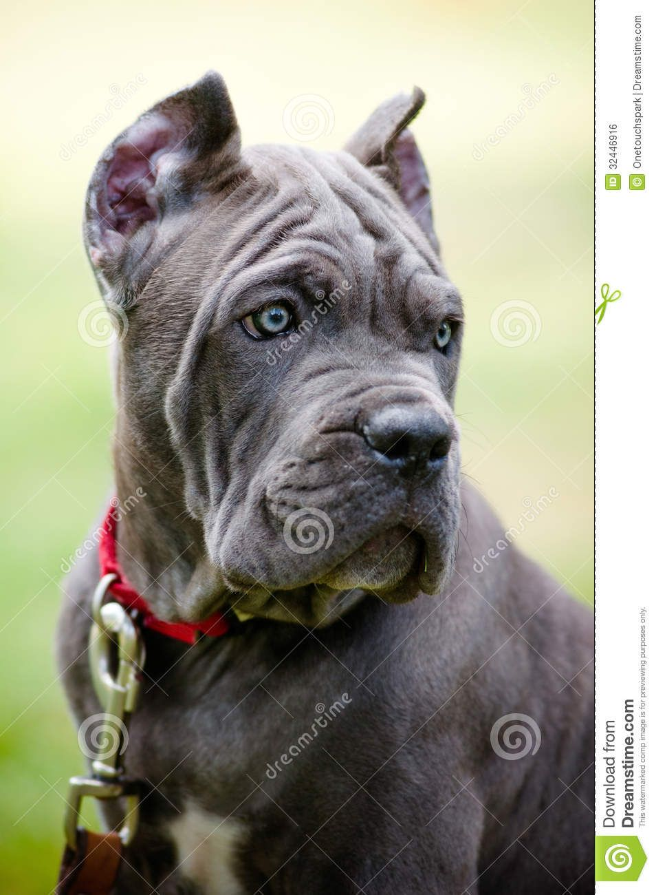 Cane Corso Rare Colors Images Pictures Becuo Cane Corso Cane Corso Puppies Blue Cane Corso Puppies