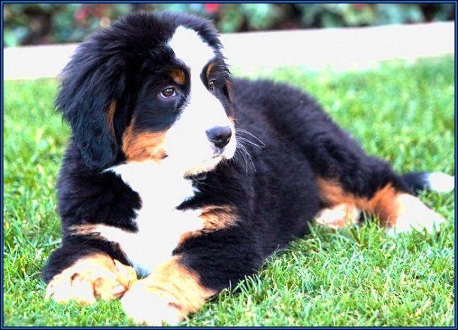 teacup bernese mountain dog