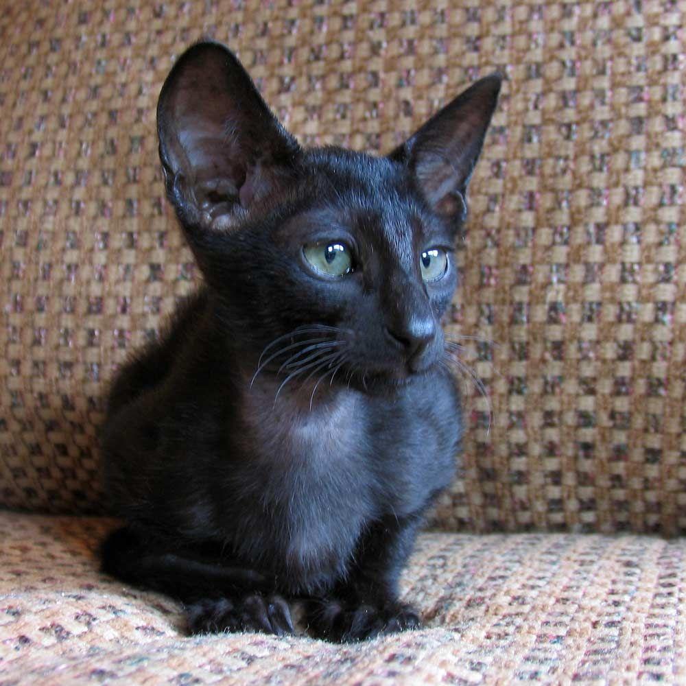 Russian Peterbald Kitten Shamira Iphis Black Straight Coated Male