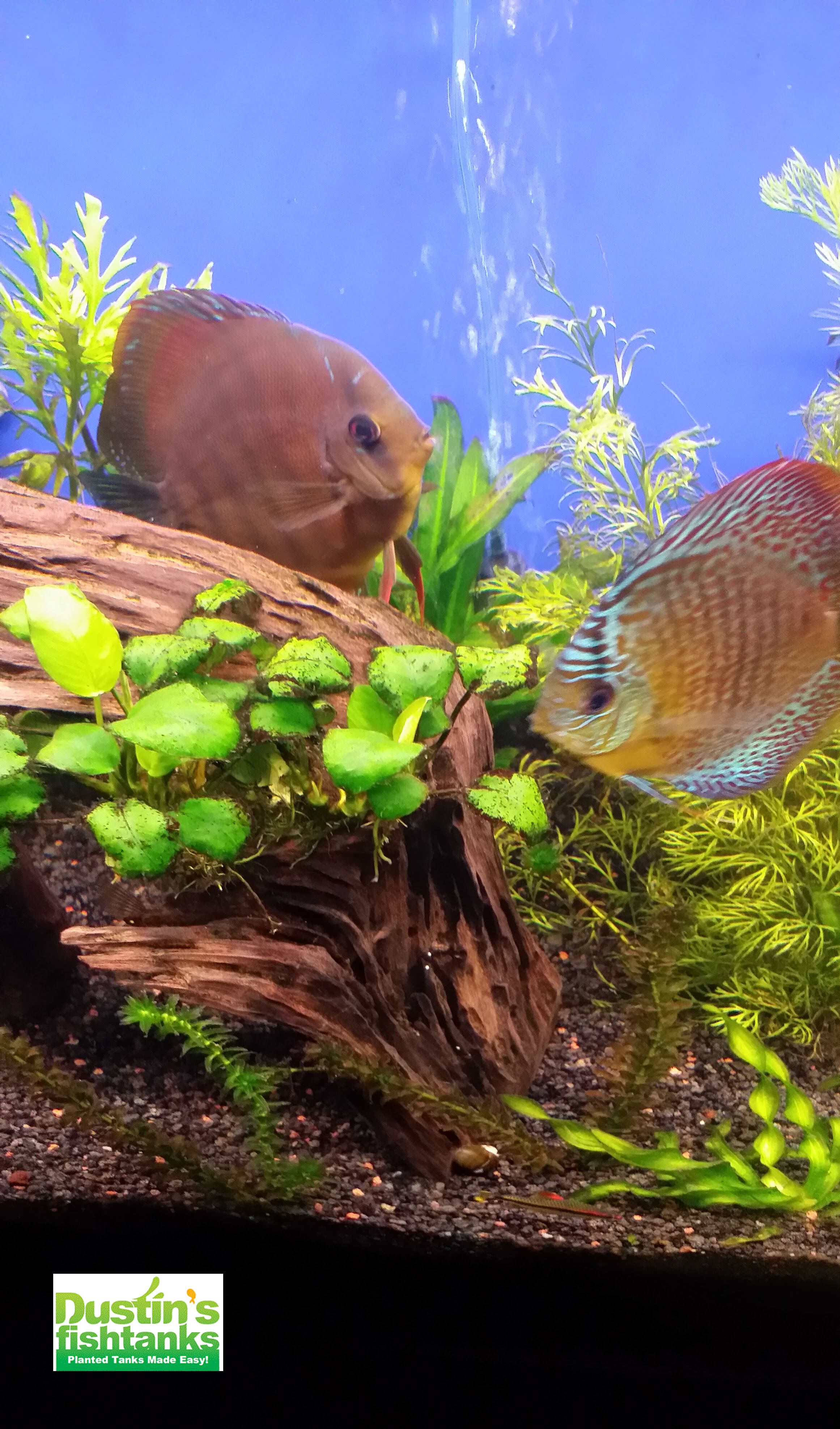 Get your Aquarium Green for 50% Off (Half Off) Through April 30th on Dustin's Fishtanks http://dustinsfishtanks.com/aquarium-plants/aquarium-plants-for-beginners/