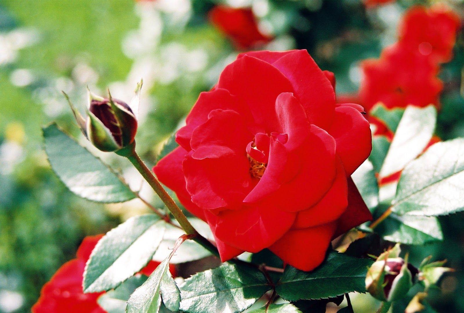 صور كبيره حلوه لقطات متنوعة Hd لخلفيات قمة في الروعة Flowers Rose Plants
