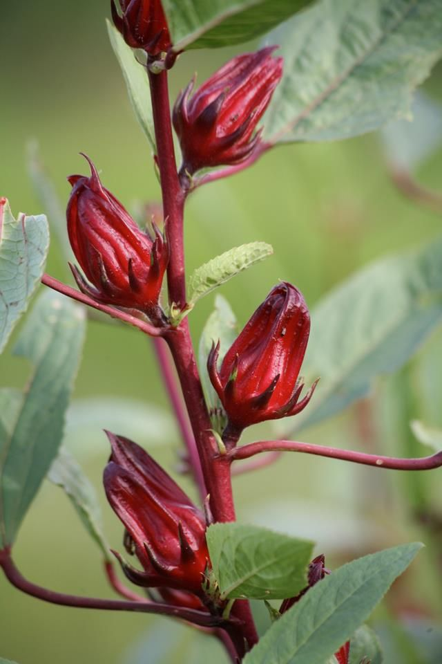 Roselle Hibiscus Sabdariffa Locally Known As Sorrel