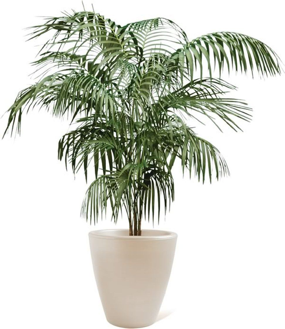 Palm Plants For Indoors: Indoor Palm Trees, Palm House