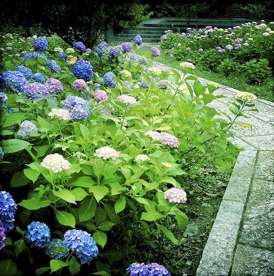 Hydrangea garden | by yocca