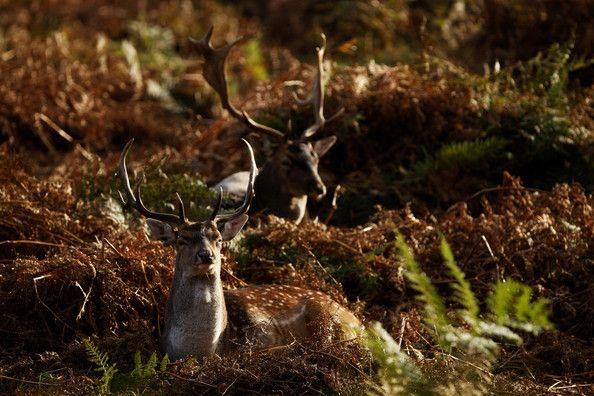 Autumn Deer Rut in Richmond Park, London, England ... - L'Assommoir