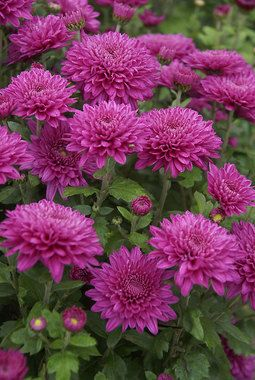 Mum Debutante Bluestone Perennials Chrysanthemum Flower Mums Flowers Flower Garden Plans