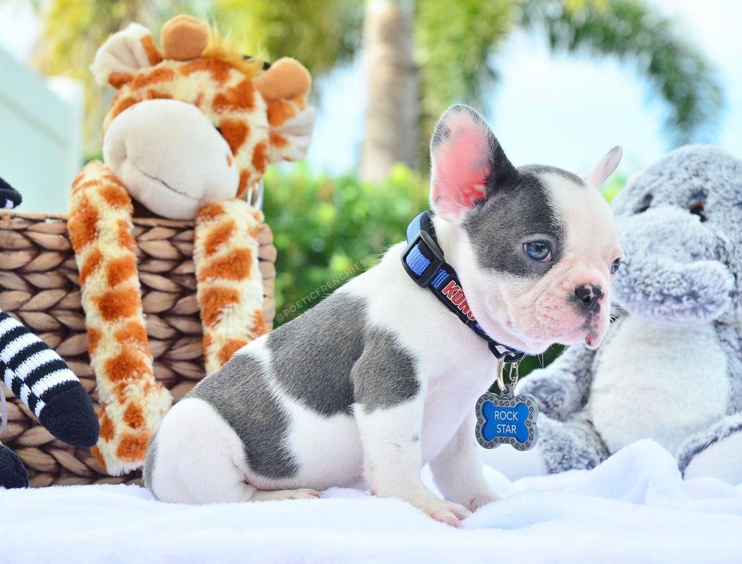 Pied French Bulldog Puppies Cute French Bulldog French Bulldog