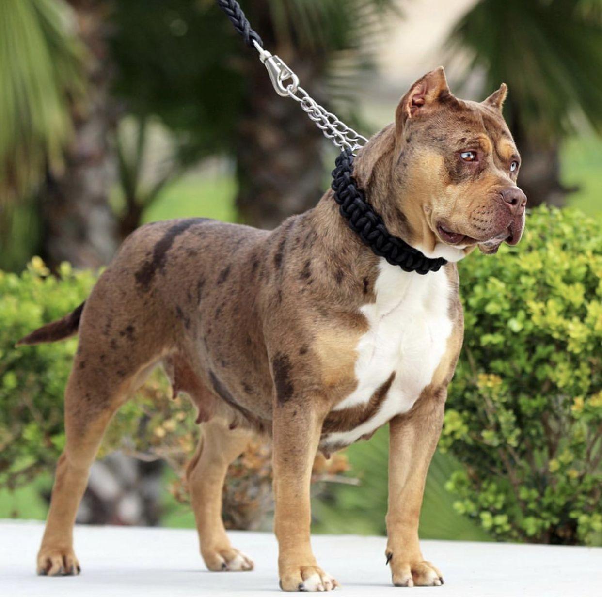 Available In 2020 Merle Pitbull American Pitbull Terrier Pitbulls