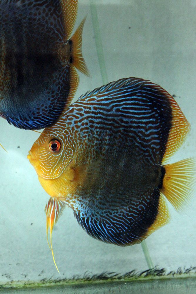 cool IMG_1966 by http://www.dezdemon-exoticfish.space/freshwater-fish/img_1966/