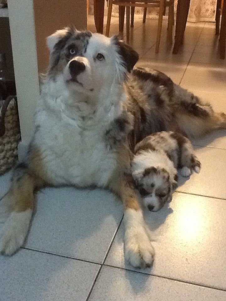 mother and daughter aussie, Diva Blue and Ilka Blue