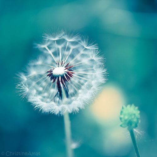 Dandelions He Sees Love Where Anyone Else Would See Weeds Fiveironfrenzy Dandelion Flowers White Dandelion