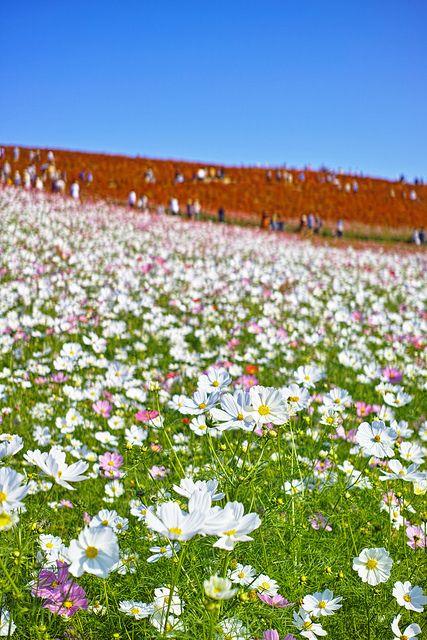 Cosmos 2 Cosmos Flowers Japanese Garden Gorgeous Gardens