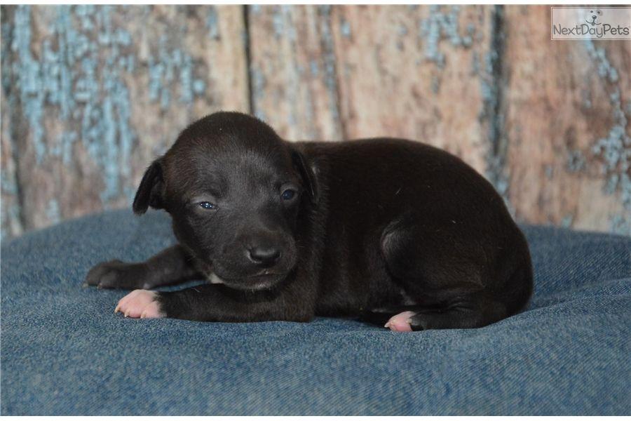 Pin By Abby Markey On My Italian Child Greyhound Puppy Italian Greyhound Puppies Italian Greyhound