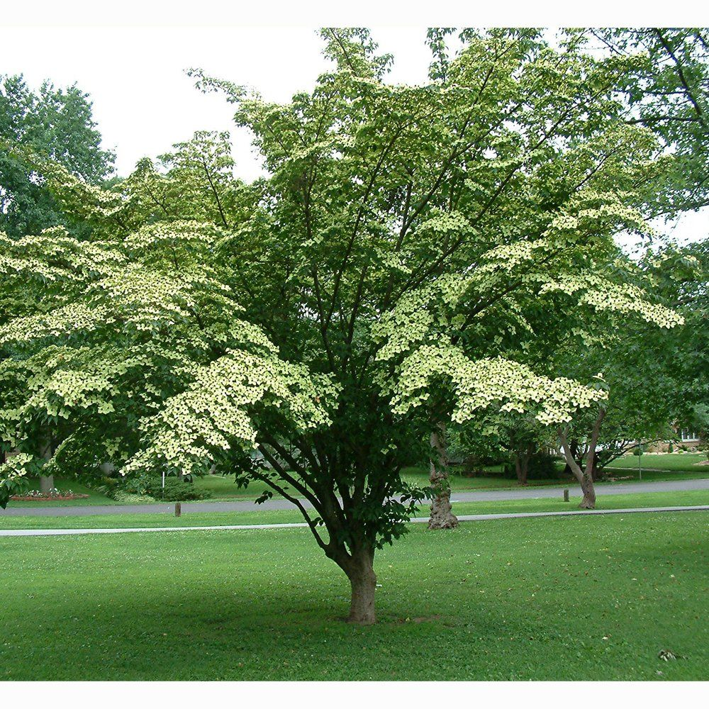 Cornus kousa \'Chinese Dogwood Tree | Flowers_Plants | Pinterest ...