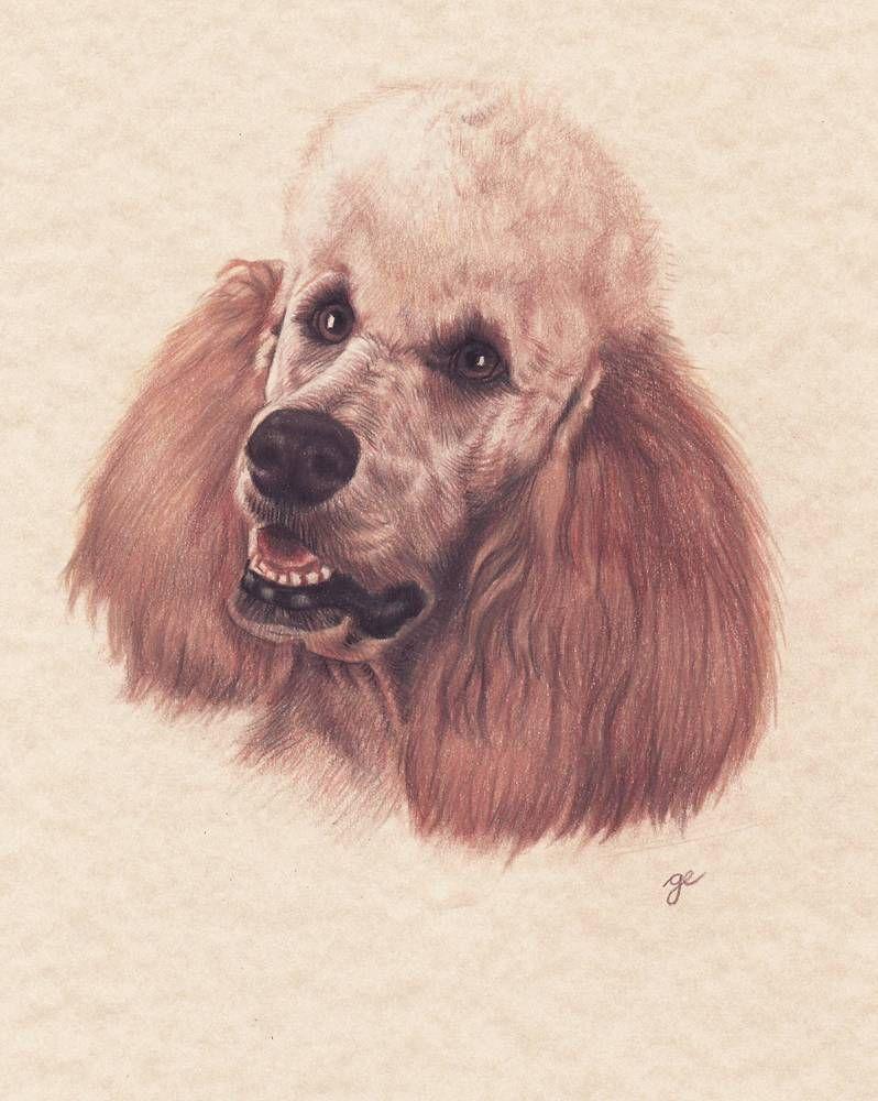 Caniche poodle 2000 love to sketch pinterest caniche dessin et petit dessin - Dessin caniche ...