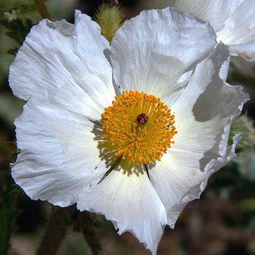 White poppy flowerg floral power pinterest flowers and gardens white poppy flowerg mightylinksfo
