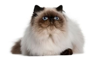 Himalayan Cat Breed Information Pictures Characteristics Facts Fluffy Cat Breeds Popular Cat Breeds Himalayan Cat
