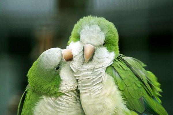 Love Birds Kissing 28 Most Beautiful Birds Birds Pet Birds