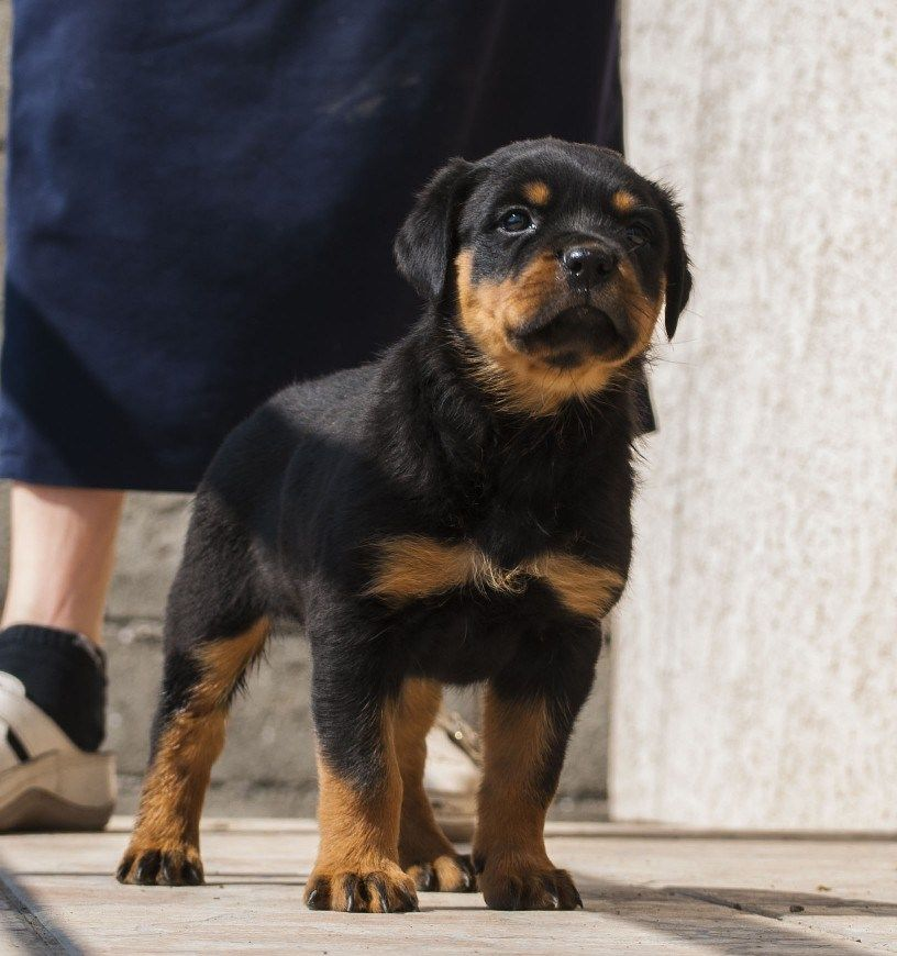 Our Litters Puppies Rottweiler Puppies For Sale Rottweiler Kennel