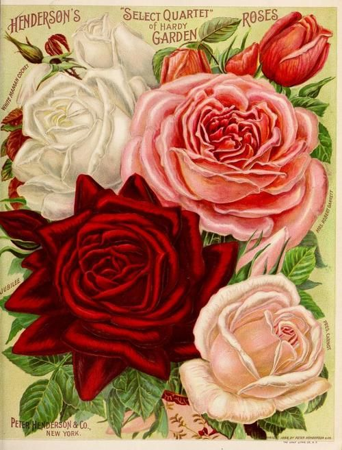 Hendersons Select Quartet Of Hardy Garden Roses Peter Henderson Cos Manual Everything For The