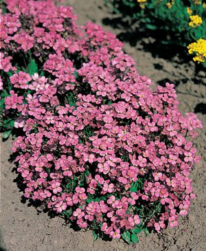 Check Out The Deal On Arabis Caucasica Compinkie 500 Seeds At Hazzard S Seeds Plants Ground Cover Plants Flowers Perennials