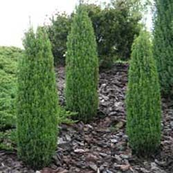 Compressa dwarf juniper a dwarf narrow pyramidal evergreen with dense green foliage very slow for Columnar evergreen trees for small gardens