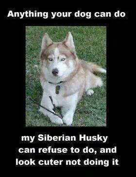 Husky Owners Can Relate Siberian Husky Husky Funny