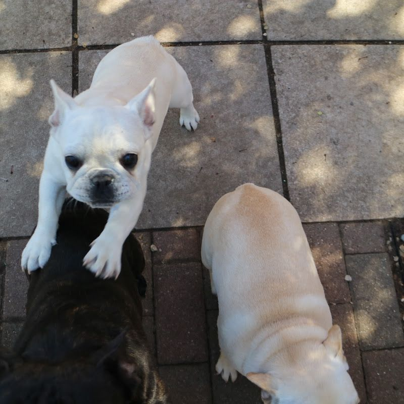 If You Are Searching For Best French Bulldog Breeder Visit