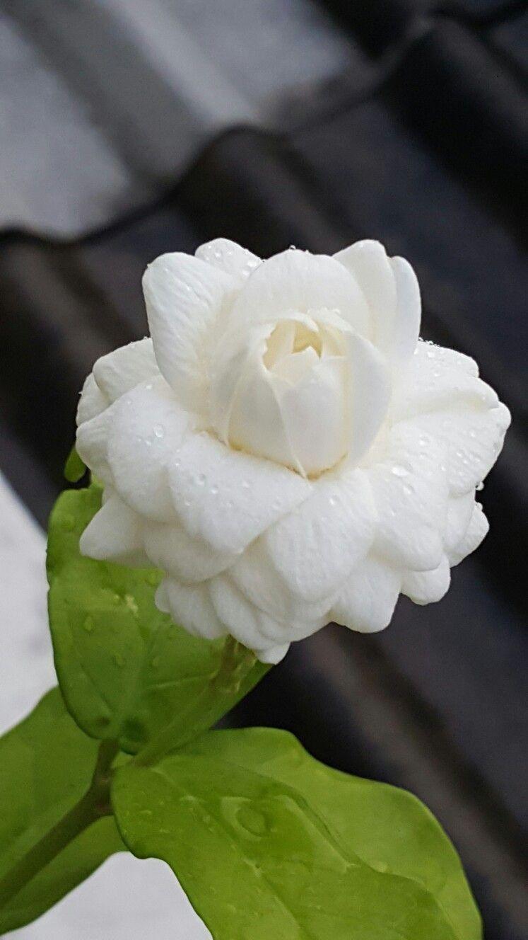 Jasmin Mali Called In Thailand Jasmine Flower Jasmine Plant Pretty Flowers