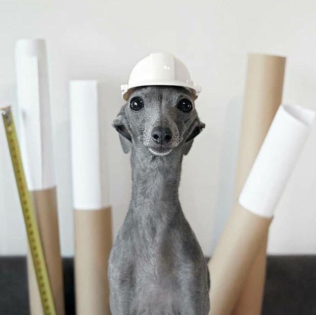 Firulais Ras Gimnasia Foto Por Dora Figala Greyhound Puppy Italian Greyhound Puppies Whippet Dog