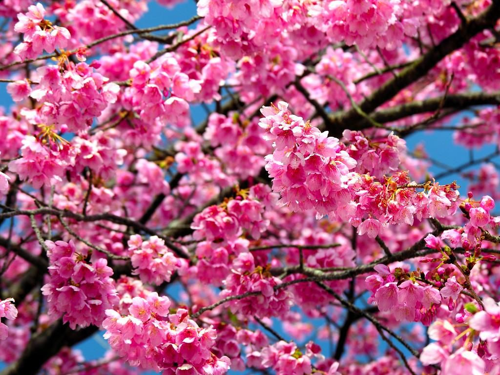 Vibrant Blossoms Cherry Flower Tree Seeds Flowering Cherry Tree