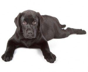 Labrador Puppy Behaviour Labrador Retriever Labrador Black