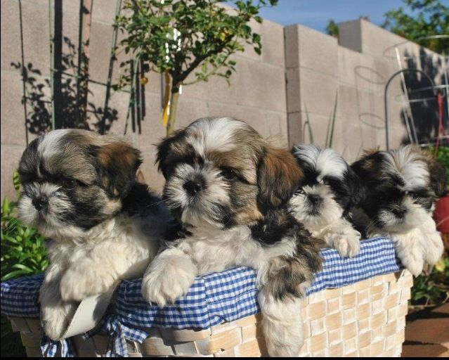 Adorable 3 month old Shih Tzu puppies