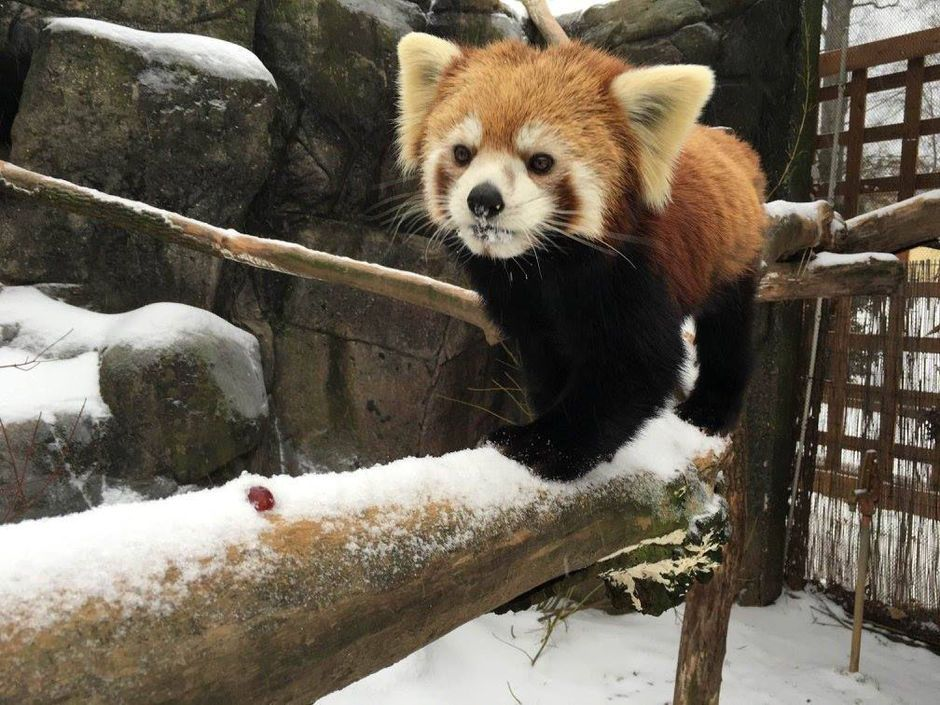 New red panda joins exhibit at the Greensboro Science