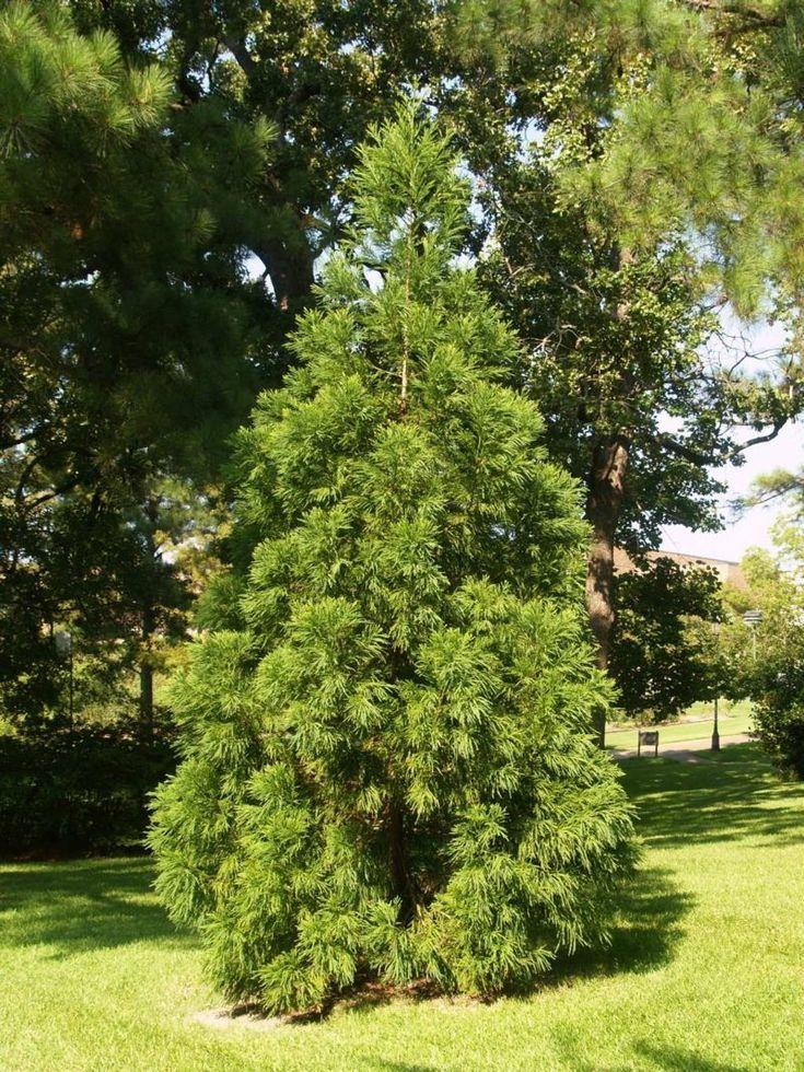 Immergrüne Bäume Differenzierung Bepflanzung