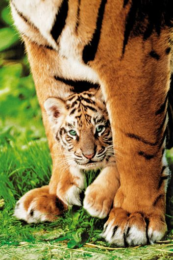 Bengal Tiger Cub With Mom Photo