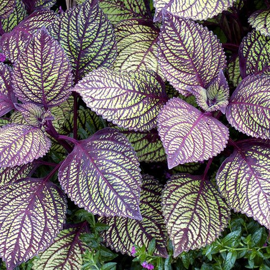 Coleus Sun Loving With Veined Leaf Get Detailed Growing Information On This Plant And