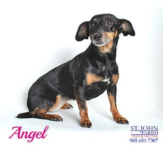 Laplace La Dachshund Chihuahua Mix Meet Angel A Dog For