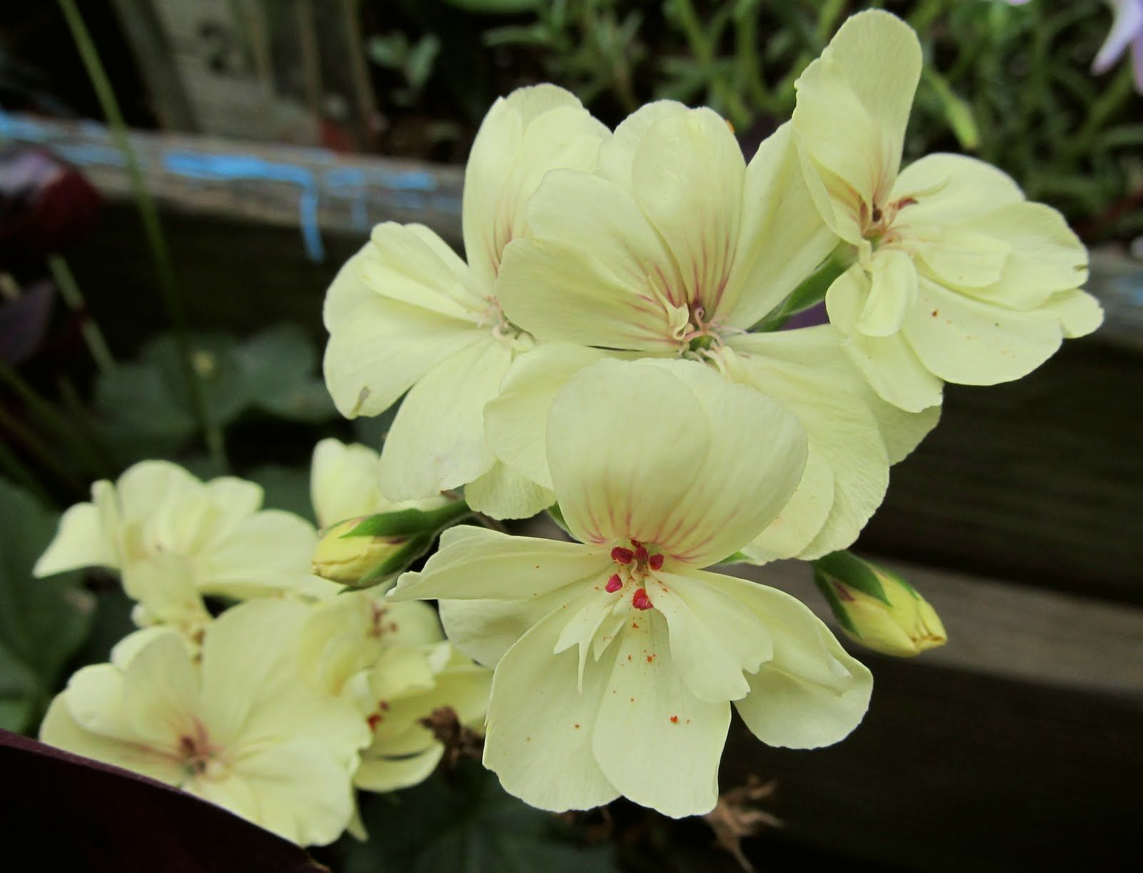 Horseshoe Geranium First Yellow Pelargonium Zonale Flowers