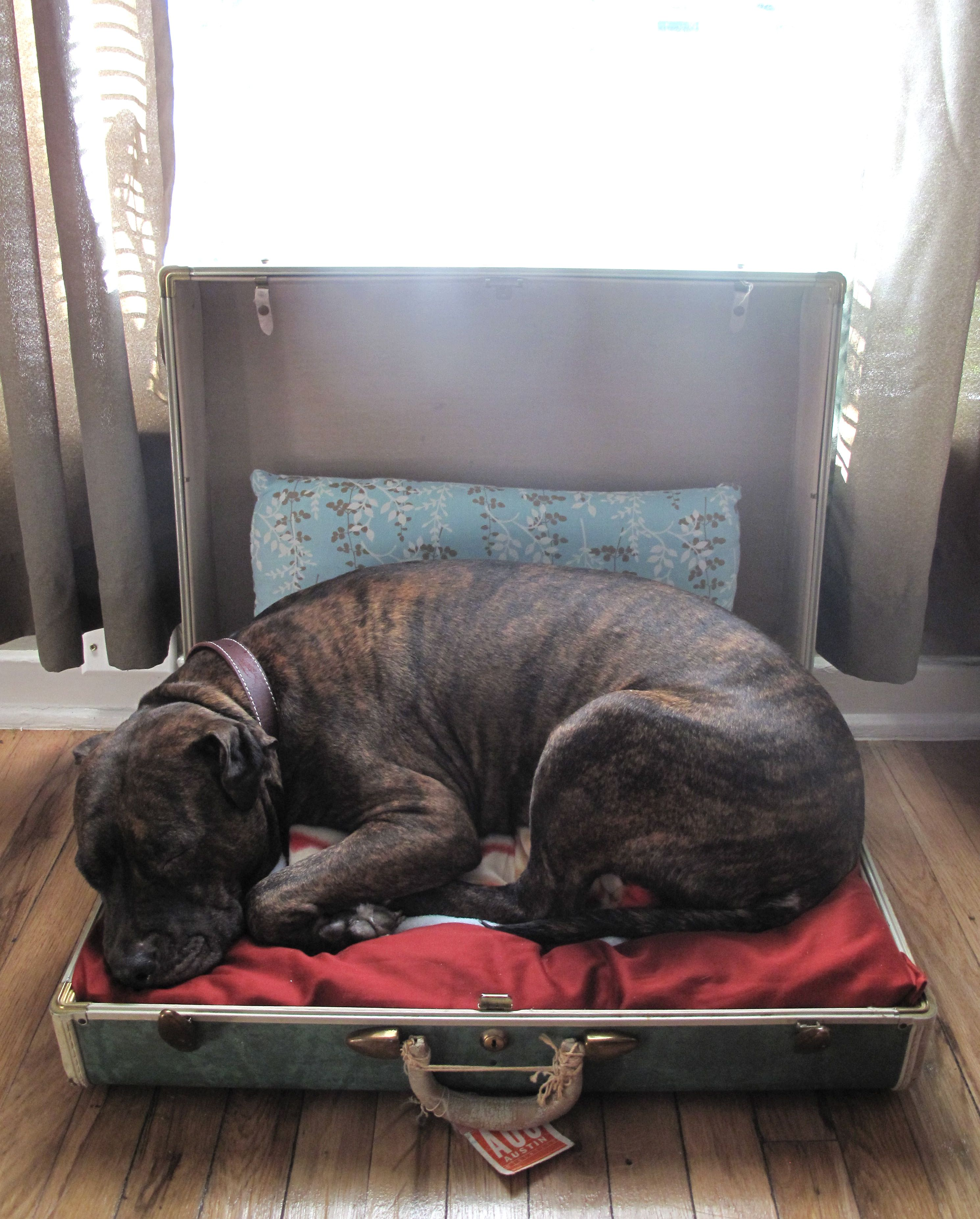 Bear in her homemade dog bed. (old suitcase) (With images
