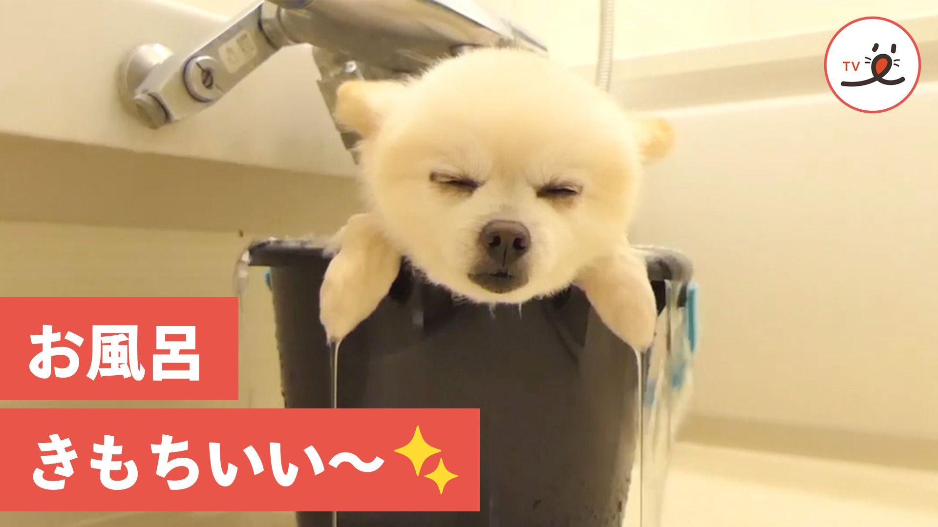 湯船でまったり お風呂が大好きなワンコさん Peco ペコ ワンコ まったり 可愛い犬
