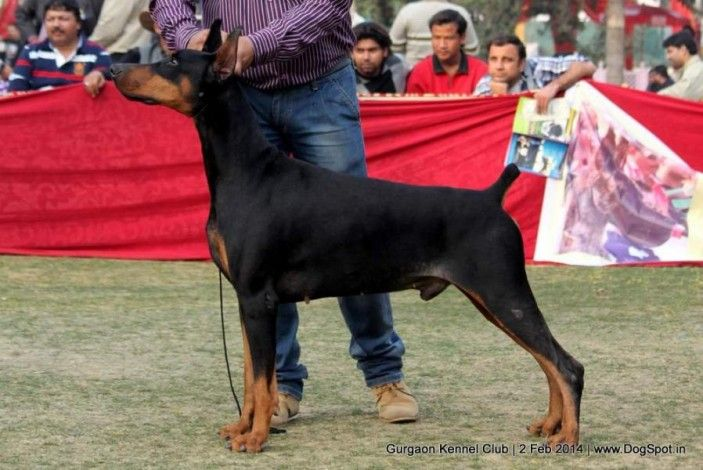 Buzz Builds At Westminster For The Fifinator Doberman Doberman