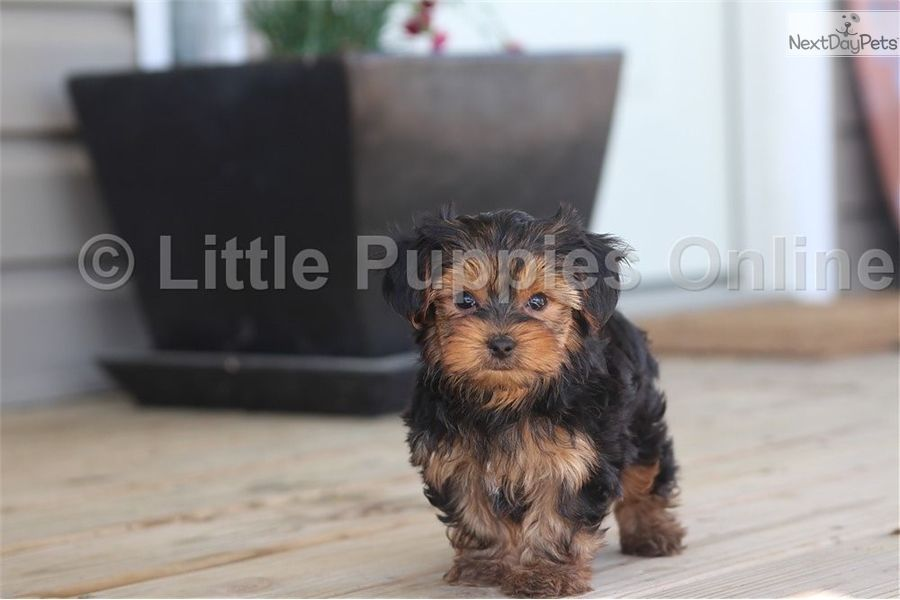 Yorkshire Terrier Yorkie Puppy For Sale Near Columbus Ohio