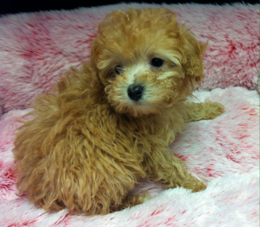 Toy Poodle Your Pet Store In Richmond Hill And Greater Toronto