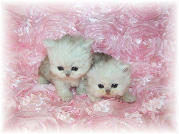 tiny teacup persia kittens | Edinburgh, Midlothian